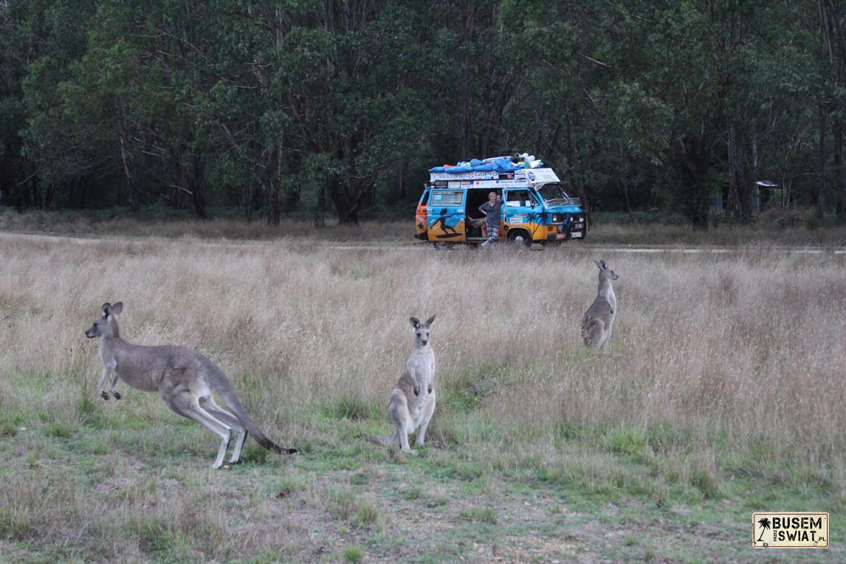 Kangury spotkane podczas jednego z noclegów na dziko w Australii