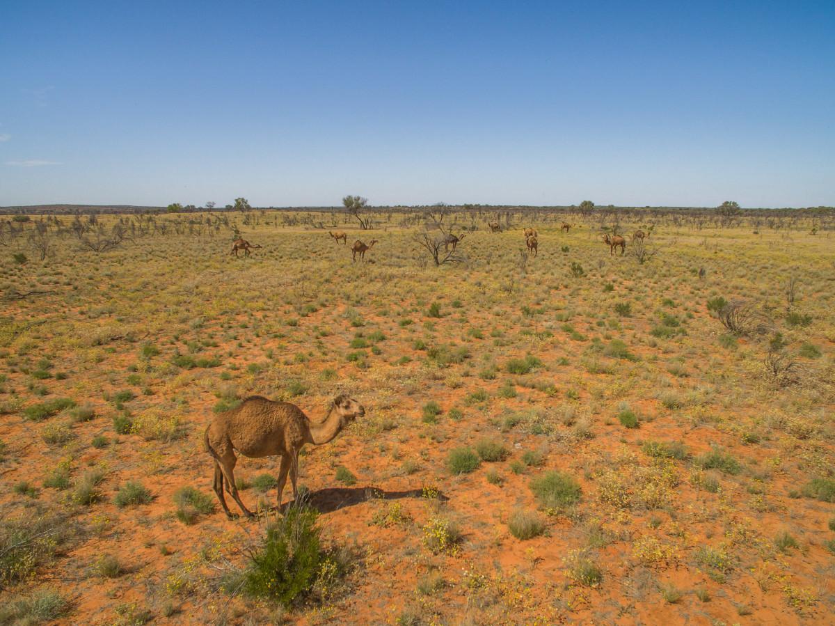wielbłady australia