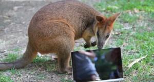 kangur tablet lenovo