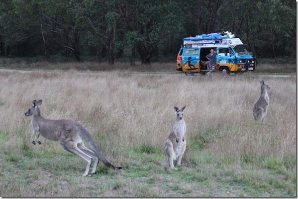 kangury bus