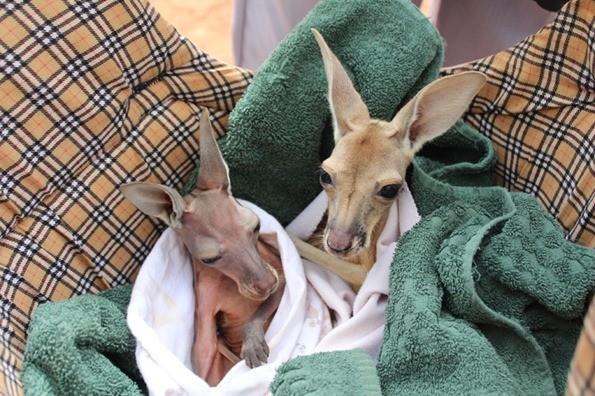 Sierociniec dla kangurow australia