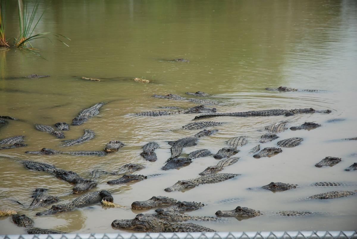 Everglades krokodyle