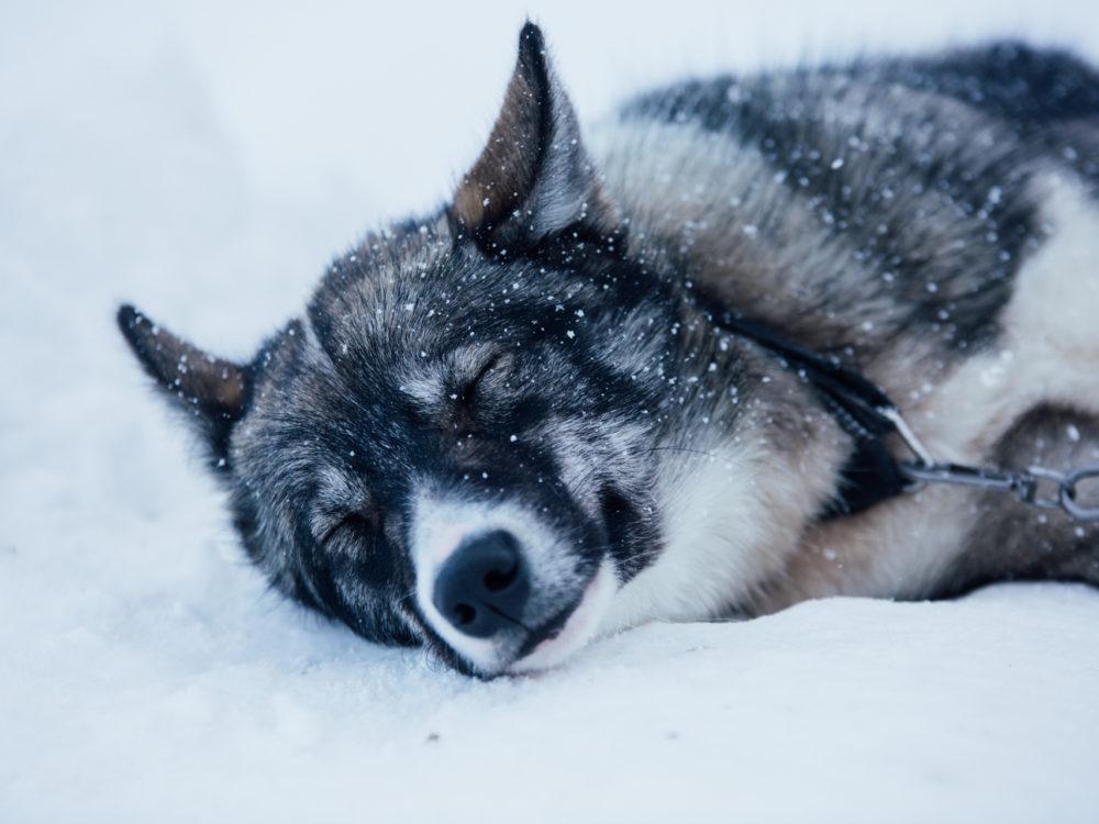 psie zaprzęgi husky