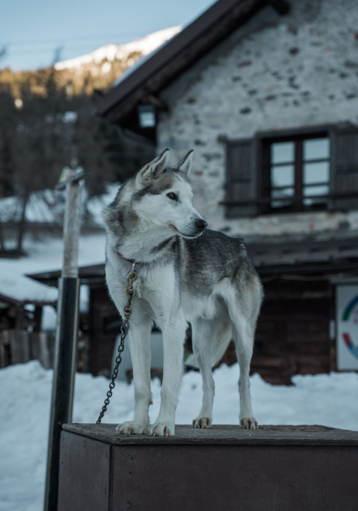 Alaskan husky psie zaprzęgi